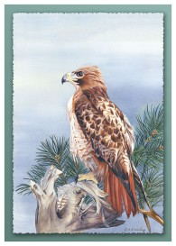 #34 Red Tailed Hawk