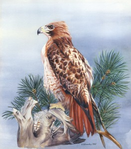 Watercolor painting of a Red Tailed Hawk, by artist Barbara Bromley