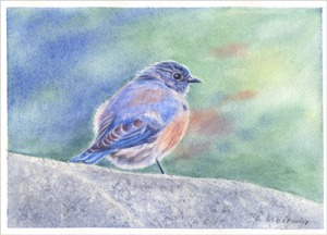 Watercolor painting of a bluebird, by artist Barbara Bromley