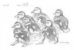 duckling-sketch-P1