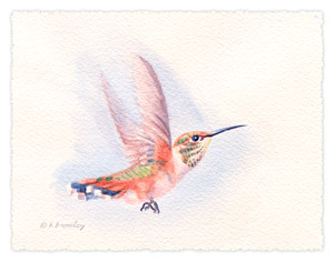 Watercolor painting of a Rufus hummingbird, by Barbara Bromley