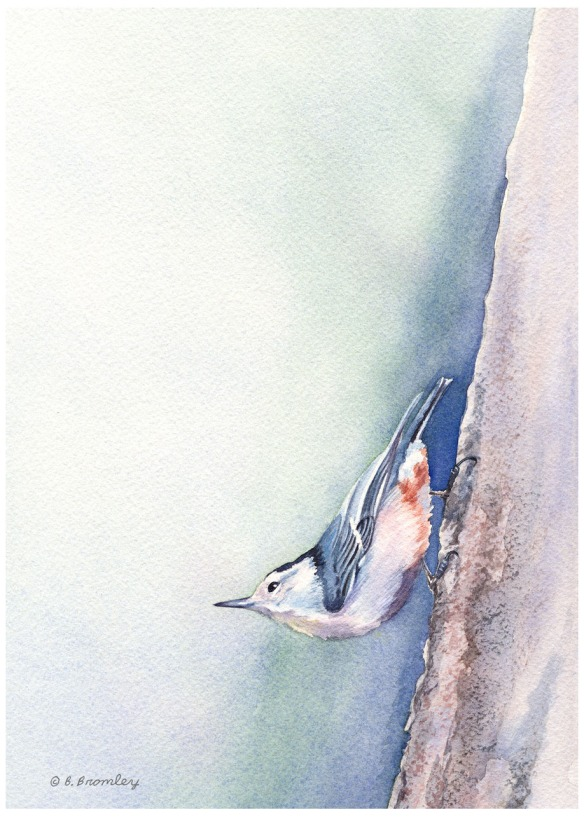 Nuthatch - Watercolor painting by Barbara Bromley. Copyright 2017 Barbara Bromley.